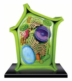 Beautifully detailed Plant Cell Anatomy Model - 24 detachabl