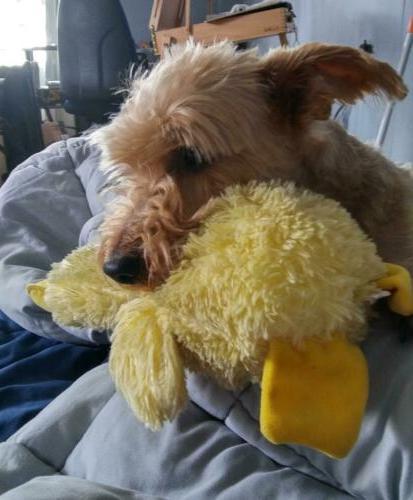 Mallard Toys Aggressive Stuffed Yellow Duck Toy Large