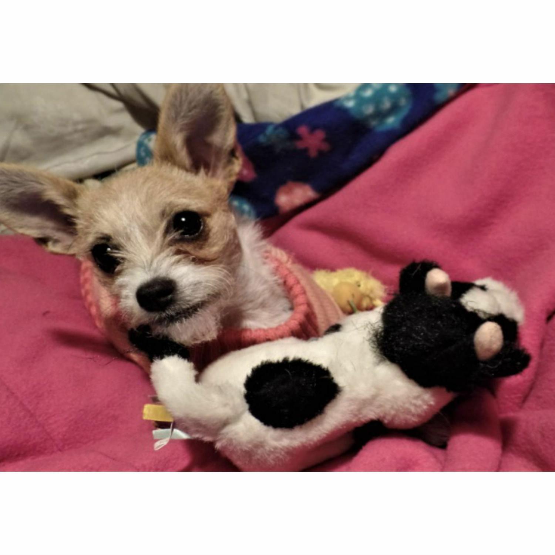 Multipet Cow Dog Toy Squeak Pet Toys Sound